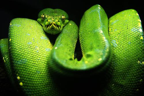Grüne Python